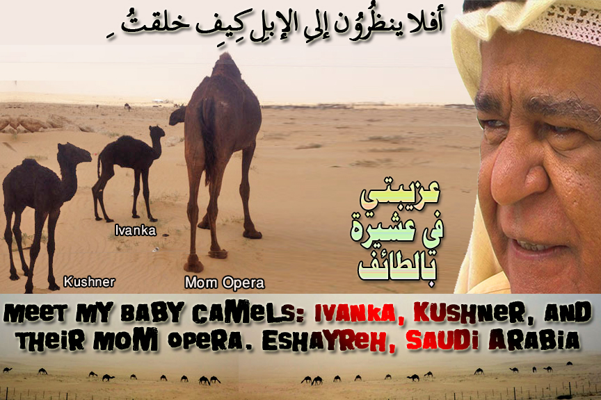 🐪🐫in case you miss me, I am off, on my Monthly Umrah. Meet me with My Baby Camels: Ivanka, Kushner, and their Mom Opera. Eshayreh, Saudi Arabia. عزيبتي في عشيرة بالطائف 🐪🐫 أفلا ينظُرُون إِلى الإِبِلِ كيف خُلِقت